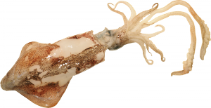 calamaro trasparente