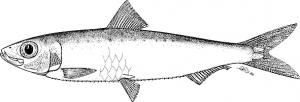 sardina fao